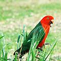 Male King Parrot  by Christopher Edmunds