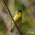 Male Lesser Goldfinch by Mitch Shindelbower