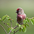 Male Lesser Redpoll  Carduelis Cabaret by Liz Leyden