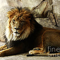 Male Lion At Rest by Elle Arden Walby