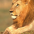 Male Lion by David Davis