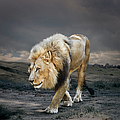 Male Lion In Naturalistic Setting by Ed Freeman