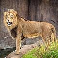 Male Lion by Keith Allen