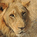 Male Lion by Lauren Armstrong