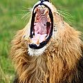 Lion Roar by Aidan Moran