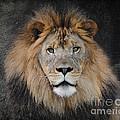 Male Lion Portrait by Jai Johnson
