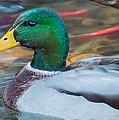 Male Mallard Duck  by Chakravarthy Kotaru