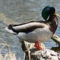 Male Mallard Duck Standing On A Log by Robert Hamm