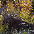 Male Moose   #3865 by J L Woody Wooden