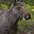 Male Moose   #5696 by J L Woody Wooden