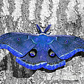 Male Moth - Brilliant Blue by Al Powell Photography USA
