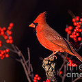 Male Northern Cardinal by Marie Read