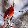 Male Northern Cardinal Oil Paint Effect by Clare VanderVeen