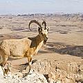 Male Nubian Ibex Capra Ibex Nubiana 1 by Eyal Bartov
