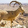 Male Nubian Ibex Capra Ibex Nubiana by Eyal Bartov