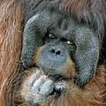 Male Orangutan  by Savannah Gibbs