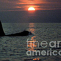 Male Orca At Sunset Off San Juan Island Washington 1986 by California Views Archives Mr Pat Hathaway Archives