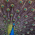 Male Peacock   #9053 by J L Woody Wooden