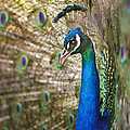 Male Peacock by John Magyar Photography