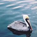 Male Pelican by Robert Floyd