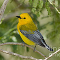 Male Prothonotary Warbler by Anthony Mercieca