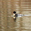 Male Red Breasted Merganser At Sunrise by Inspired Nature Photography Fine Art Photography