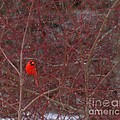 Male Red Cardinal In The Snow by Kenny Glotfelty