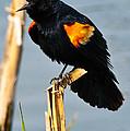 Male Red-winged Blackbird by Robert McAlpine