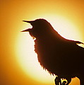 male Red-winged Blackbird singing at sunrise by Dave Spier
