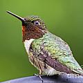 Male Ruby Throated Hummingbird by TJ Baccari