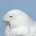 Male Snowy Owl by David Gardner