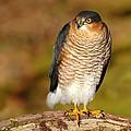 Male Sparrowhawk by Gavin Macrae
