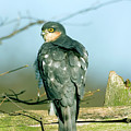 Male Sparrowhawk by John Devries/science Photo Library