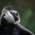 Male White-cheeked Gibbon by Patti Deters