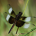 Male Widow Skimmer Dragonfly by Judy Whitton