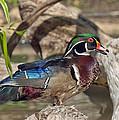 Male Wood Duck Dwf029 by Gerry Gantt