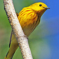 Male Yellow Warbler by Dee Carpenter