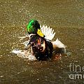 Mallard Bath Time by Vivian Christopher