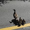 Mallard Crossing 3 by Paddy Shaffer