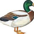 Mallard Duck by Anonymous