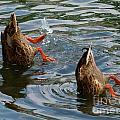 Mallard Duck Butts by Christine Stack