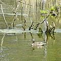 Mallard Duck by Gene Cyr