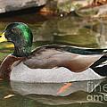 Mallard Duck  by Ken Keener