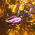 Mallard Duck On Pond 1 by Amy Vangsgard