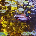 Mallard Duck On Pond 2 by Amy Vangsgard