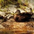 Mallard Duck Onaping by Marjorie Imbeau