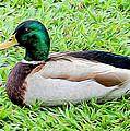 Mallard Duck by Pamela Walton