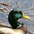 Mallard Duck Portrait by Neal Eslinger