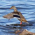 Mallard Duck Showing Off by Lori Tordsen