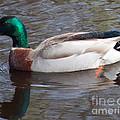 Mallard Duck by Tina Wentworth